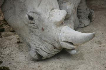 Portrait a rhinoceros