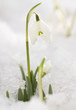 White snowdrops in the last snow  (Galanthus nivalis)