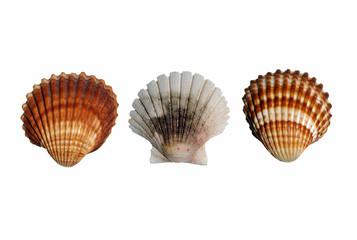 Three seashell opposite white background