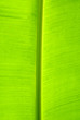 leaf of banana palm