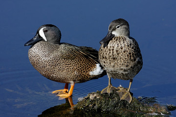 Pair of Blue-winged Teal