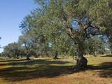 albero ulivo7