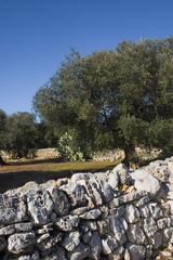 albero ulivo9
