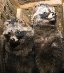 Two raccoon look in a cage.