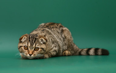 Cat on a green background.
