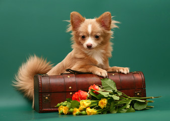 Dog of breed chihuahua on a green background.