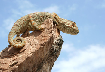 Chameleon on a big rock