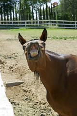 Front view of a funny horse showing its teeth