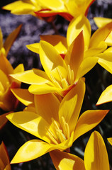Lovely yellow early spring tulip flowers are seen under sunlight