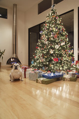 Bulldog by Christmas Tree in Living Room