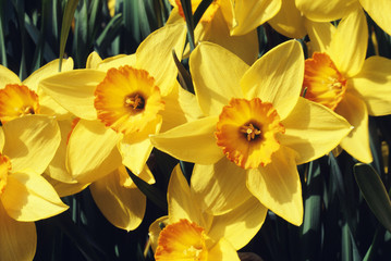 """Beautiful large-cupped daffodil flowers, """"Sun Chariot,"""" are seen under sunlight"""