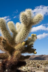 Jumping Cholla Cactus Detail in Joshua Tree National Park