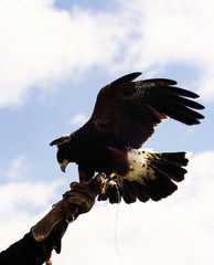 Low angle view of a trained captive hawk held by a person