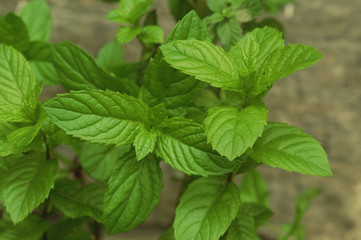 English Spearmint