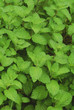 Grapefruit Mint Plant