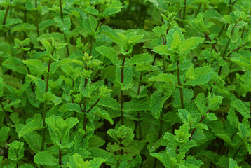 "Spearmint ""Kentucky Colonel"""