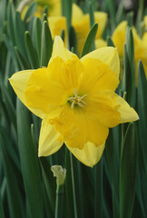 Split-Corona Daffodil
