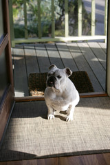 Bulldog Standing in Front Doorway