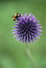 Bumblebee Resting on Globe Thistle