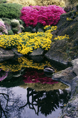 A duck in a pond with flowers reflected in the water