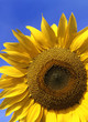 Front view of a beautiful sunflower