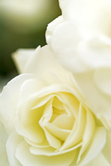Close up of a beautiful white rose