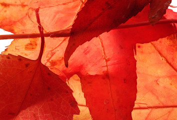 Close up of red colored maple leaves