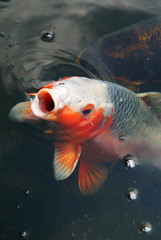 High angle view of a huge fish at the surface of water