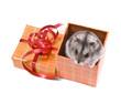 little dwarf hamster in present box