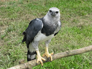 "Harpyie,""Harpia harpyja"", Amazonas"