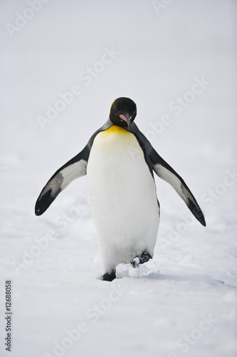 Poster Pinguin Walking King Penguin