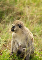 African Vervet Monkey with child