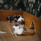 group of mice walking in a luxury old-fashioned room poster