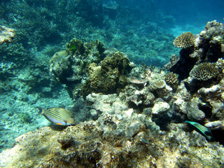 Striped surgeonfish and corals at the Great Barrier Reef
