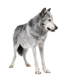 Mackenzie Valley Wolf (8 years) - Canis lupus occidentalis poster