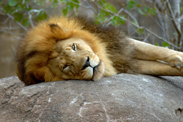 African Lion at rest