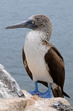 Blue-footed booby is posing