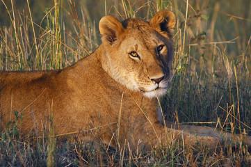 Lioness (Panthera leo) at Masai Mara, Kenya