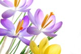 Spring crocuses in vibrant colors