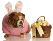 english bulldog with bunny ears and easter basket..