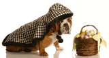 english bulldog wearing cape ready to deliver easter basket poster