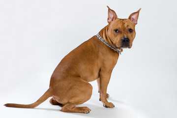 american staffordshire terrier sitting