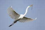 Great Egret (Ardea alba) poster