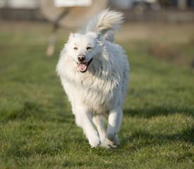 cane pastore maremmano