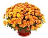 Fototapety Chrysanthemums in flowerpot