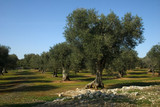 albero ulivo 10 - Fine Art prints