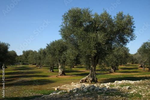 Albero ulivo 10 immagini e fotografie royalty free su for Acquisto piante ulivo