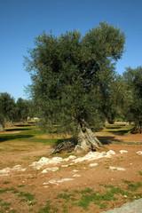 albero ulivo 14