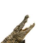 Alligator will fressen
