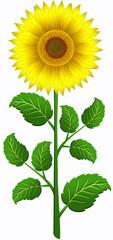 Sunflower (set 2)